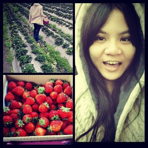 採 草莓 紀 いちご 苺 きび