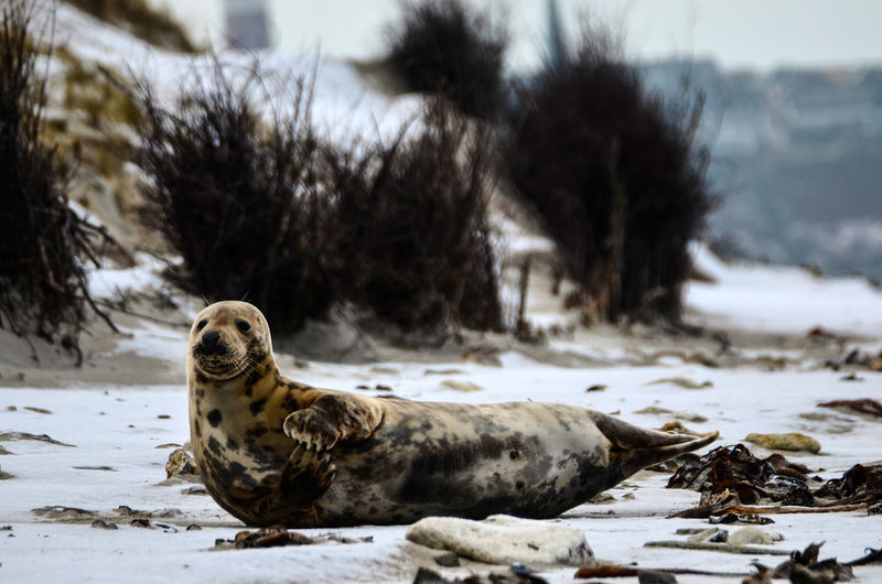 Seal on beach in winter