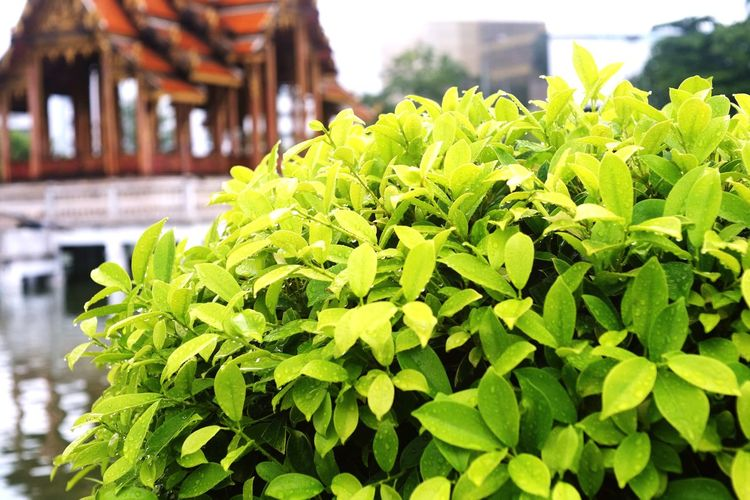Green Color Leaf Focus On Foreground Plant Outdoors Nature Freshness Rainy Days☔ Raining Season Beauty In Nature Blossom