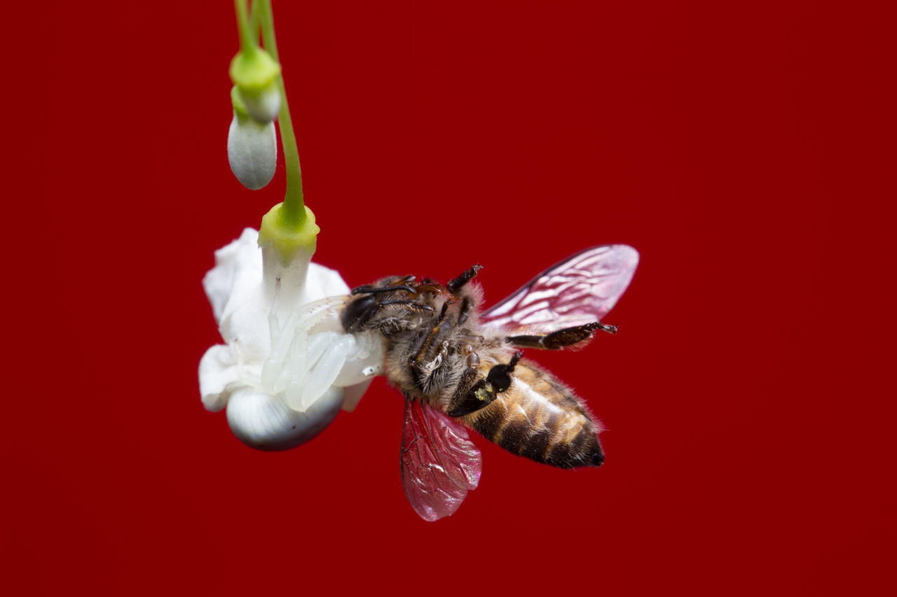 red, studio shot, animal, red background, close-up, colored background, no people, animal themes, insect, animal wildlife, invertebrate, food, food and drink, indoors, one animal, animals in the wild, freshness, fruit, white color, nature, pollination, flower
