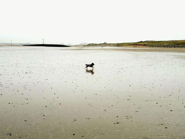 Ruby on the beach Cavalier King Charles Spaniel Dog Beach Leasowe Wirral Merseyside