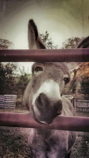 Donkey Cheese!