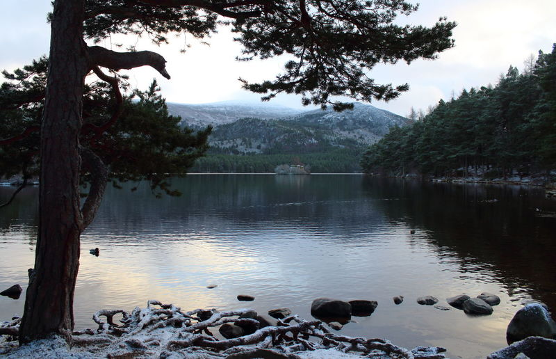 Cairngorms Loch An Eilein Scotland Shades Of Winter Animal Themes Animals In The Wild Beauty In Nature Bird Day Growth Lake Mammal Mountain Nature No People Outdoors Roots Scenics Scots Pine Sky Swan Tranquility Tree Water