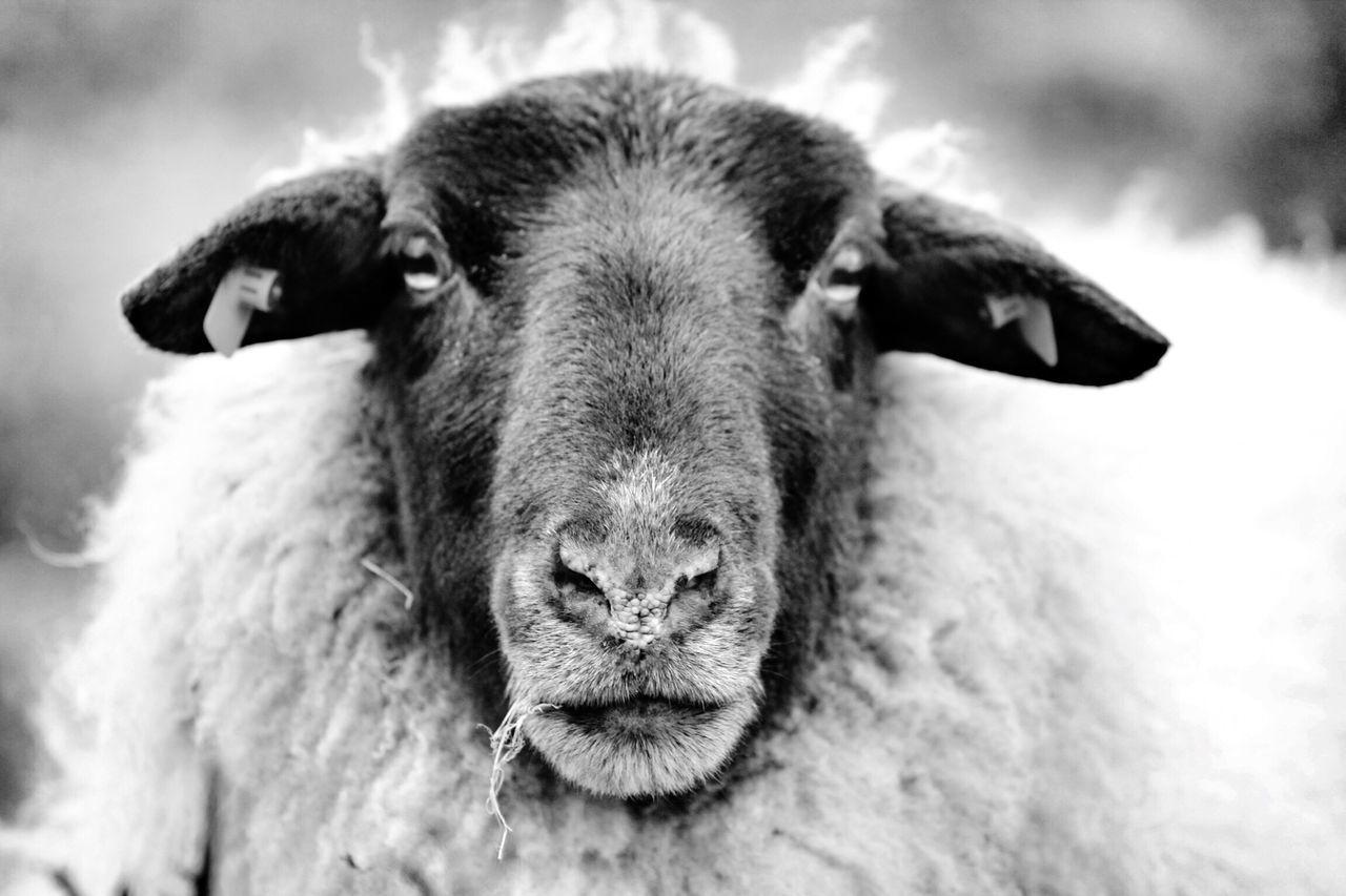 Close-up portrait of sheep