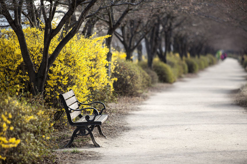 Anyangcheon Autumn Bench Bicycle Day Diminishing Perspective Footpath Forsythia Growth Land Vehicle Mode Of Transport Nature Outdoors Pathway Road Season  Springtime Street The Way Forward Tranquility Transportation Tree Walkway Yellow