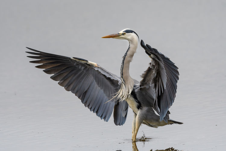 High angle view of gray heron landing