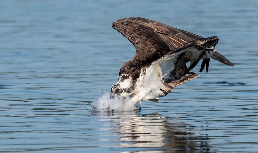 Osprey fishing Wildlife Hawk Eagle Fishing Osprey  EyeEm Selects Animals In The Wild Animal Themes Animal Animal Wildlife Water One Animal Day Vertebrate No People Outdoors Lake Animal Body Part Splashing Bird Flying Marine Waterfront Nature Animal Wing My Best Photo