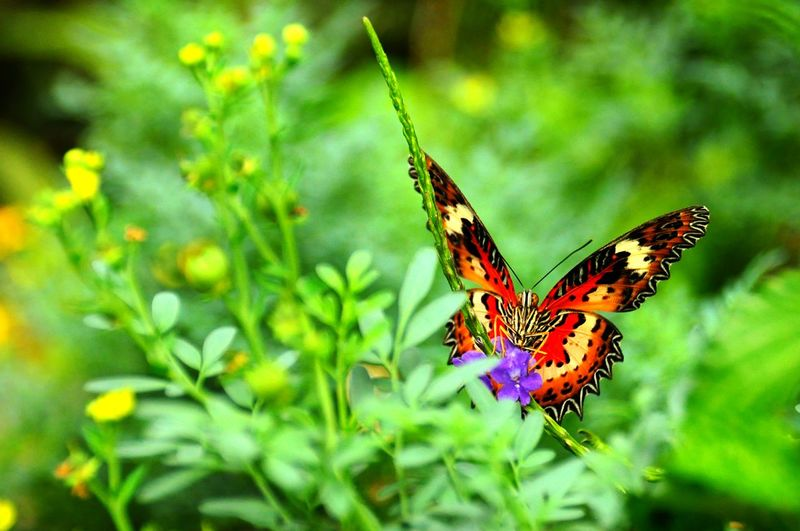 Green Growth Flower Butterfly Beauty In Nature Close-up In Front Of Me Butterfly Collection Insect EyeEm Cameron Highlands 金馬崙 Malaysia Nature Photography Nature Outdoors 正面 蝴蝶