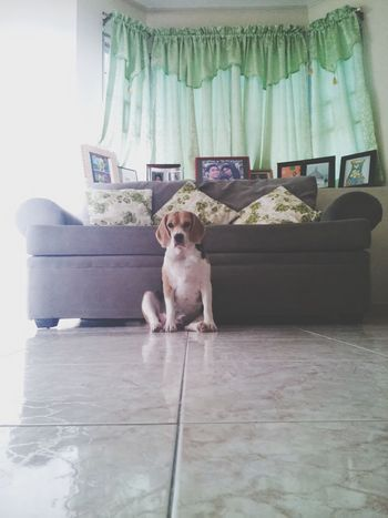 bailey Dogs Puppies Bıtch Beagle Beaglelovers Puppies Of Eyeem Pets Dog Sitting Portrait Animal Themes Purebred Dog