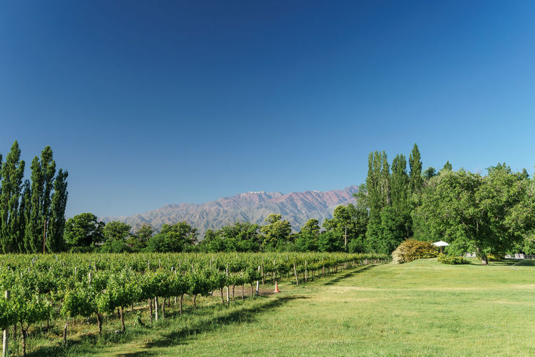 Vineyard in Uco Valley, Mendoza, Argentina Nature Beauty In Nature Blue Sky Mendoza Uco Valley Argentina Wine Vineyard Andes Andes Mountains Mountains Green Travel Growth Nature Agriculture Field Green Color No People Tree