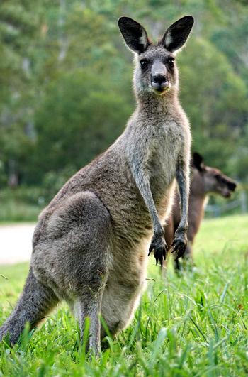 Kangaroo standing on grass