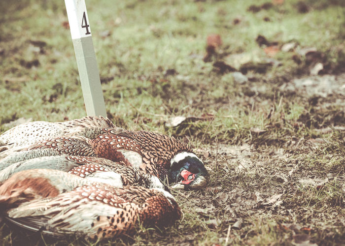 Shot pheasants from a pheasant shoot. KILLED BIRD Nature Pheasant Pheasant Shoot Pheasant Shooting Pheasant Feathers Animal Themes Close-up Country Life Country Sports Day Dead Nature No People Outdoors Pheasant Season Pheasants Shot