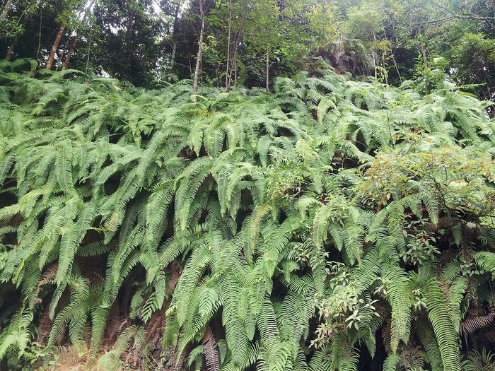 Fern Uncultivated Forest