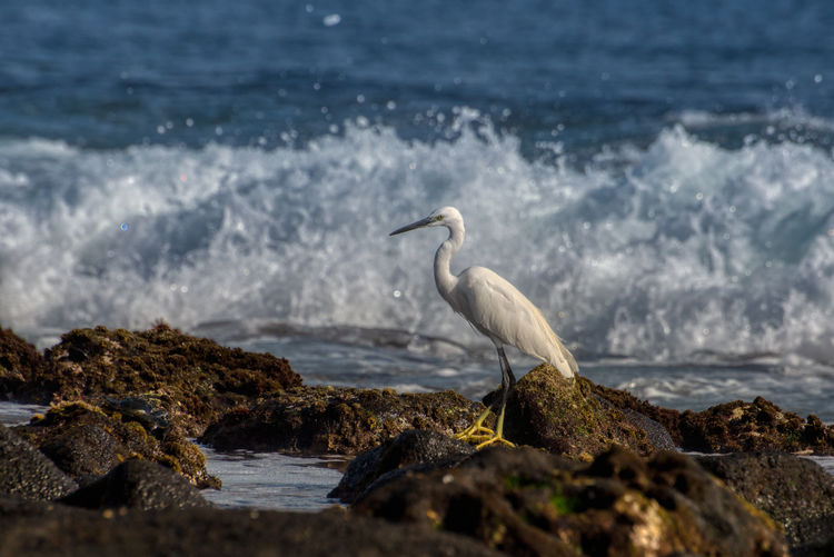 Little egret standing on rocks One Animal Animal Themes Water Rock Animal Animals In The Wild Solid Rock - Object Sea Animal Wildlife Vertebrate Bird Egret Beach Nature Perching Day No People Land Outdoors Profile View