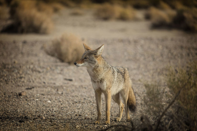 Animals In The Wild One Animal Mammal Focus On Foreground Day Nature No People Animal Wildlife Fox