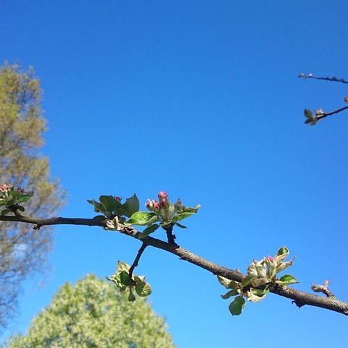 Trädgårdsbilder Blommor äppelblommor