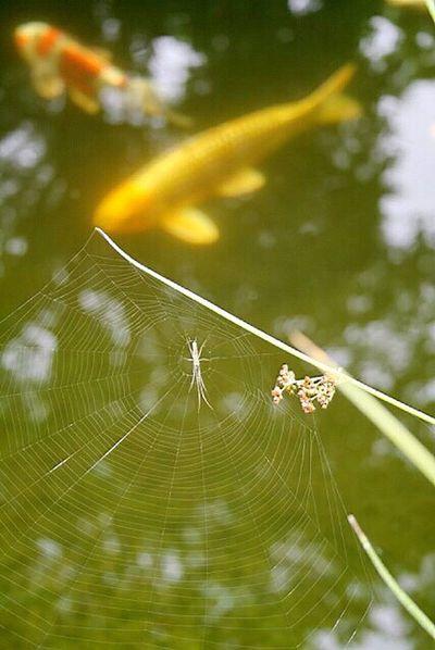 Heute Nachmittag Nach dem Regen am Teich , Jetzt wieder Regen !!!😩🕸🌧🌩⚡️💥 Summertime Selective Focus Spider Spiderweb Lovely Focus On Foreground Das Leben Ist Schön Nature Pond Life Beauty In Nature Happy :) Summer Views Itsabeautifulworld StillLifePhotography Love♡ Lovely :)