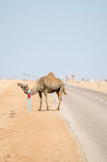 Camel scratching itself on road reflector in sahara desert, western sahara, north africa