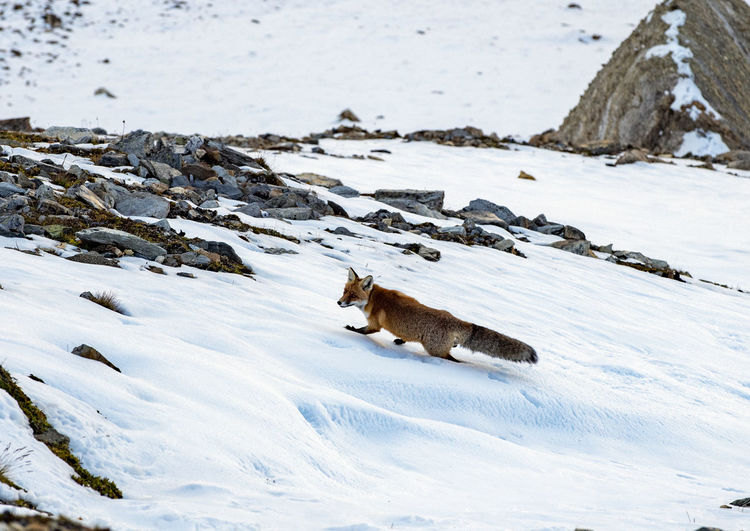 Fox walking on snow covered land