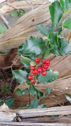 Driftwood Holly Holly Berries LG V30 Nature_collection Nature Naturelovers Not My Garden Twisted Tuesday Fruit Red Leaf Wood - Material Close-up Green Color Blooming