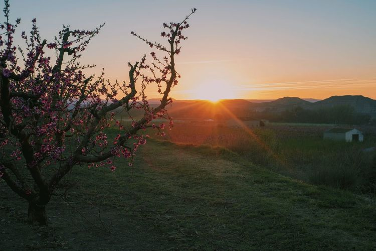 Peach Blossom Blossom Blooming Peach Tree Sun Sunset Sunset_collection Sky Field Light And Shadow Light Green Nature Calm