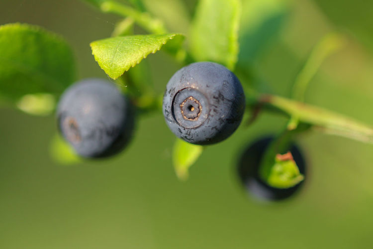 Close-up of fresh green leaf and blueberries