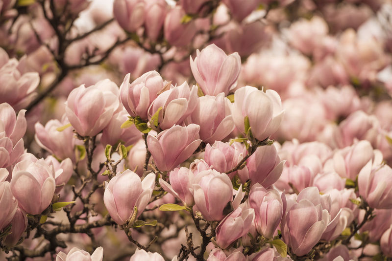 Magnolia flowers Abbundance, Beauty In Nature Blossom Branch Close-up Day Flower Flower Head Flowers Focus On Foreground Fragility Freshness Full Frame Growth Magnolia Many Nature No People Outdoors Petal Pink Color Plant Springtime Tranquility