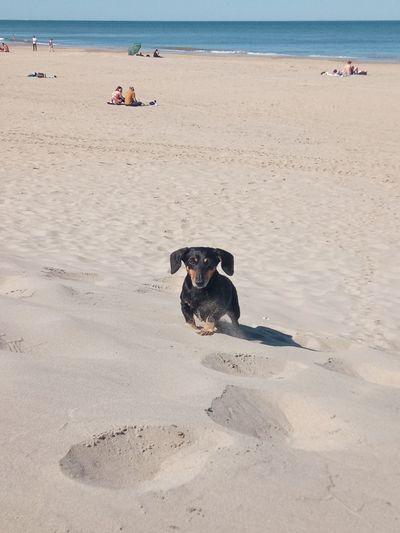 Dachshund running on sandy beach