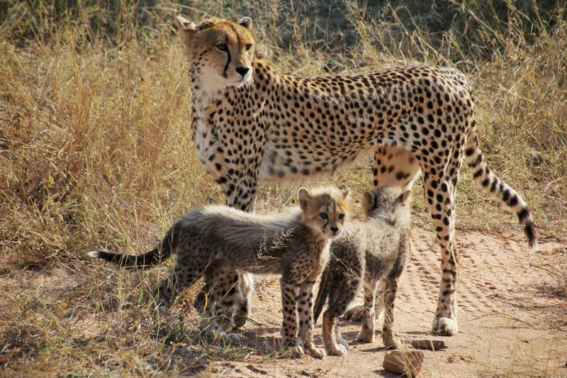 Side view of cheetah with cubs