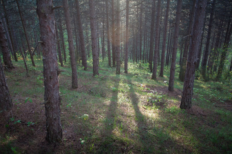 morning sun in the forest Beauty In Nature Conifer  Coniferous Dark Day Environment Forest Grass Landscape Meditation Morning Nature No People Outdoors Rays Scenics Summer Sun Sunrise Tranquil Scene Tranquility Tree Tree Trunk Wilderness WoodLand