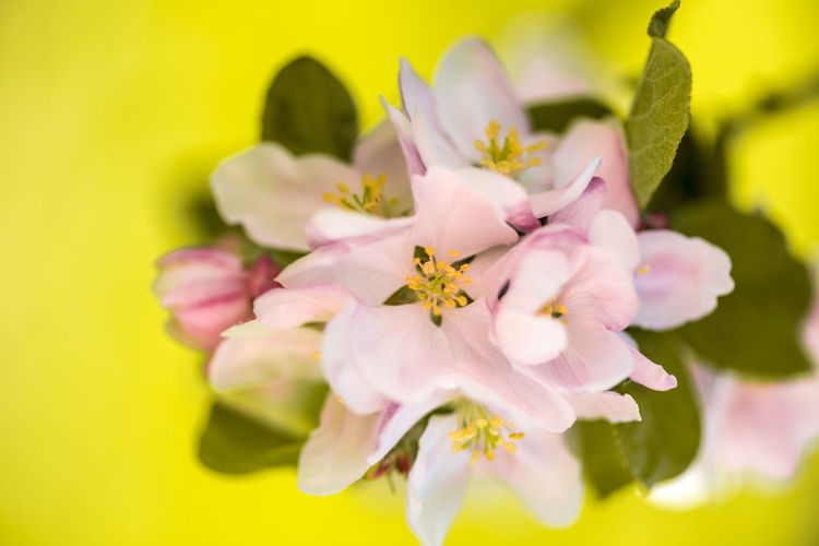 Nikon D750 Beauty In Nature Blossom Cherry Blossom Close-up Day Flower Flower Head Flowering Plant Fragility Freshness Growth Inflorescence Nature Petal Pink Color Plant Pollen Selective Focus Springtime Vulnerability  Yellow Cherry Tree In Bloom Blooming Colored Fruit Tree