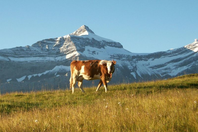 Cow standing on field against snowcapped mountain