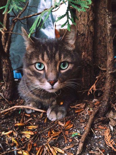 cat in shrubs in Green Eyed Cat Cat In Bushes Cat Outside Curious Cat Pet Cat Cat Outdoors Grey Cat Green Eyes Cat