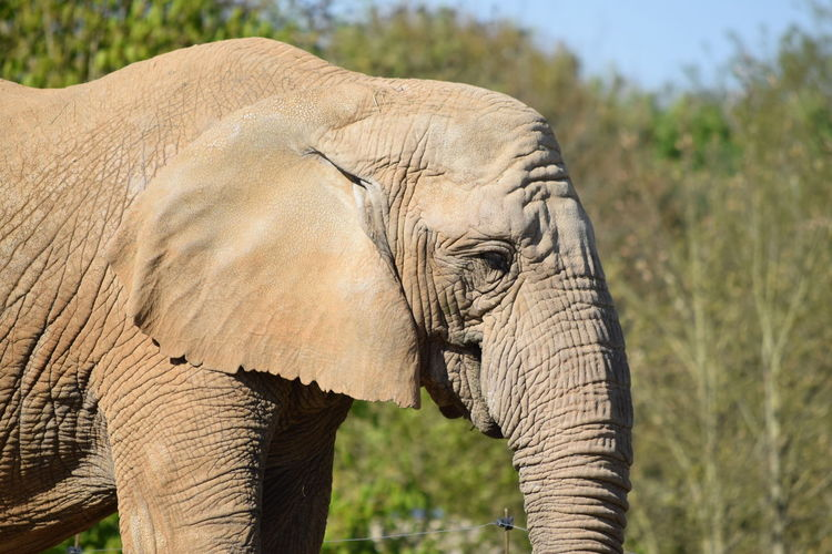elephant African Elephant Animal Themes Animal Trunk Animal Wildlife Animals In The Wild Beauty In Nature Close-up Day Elephant Focus On Foreground Mammal Nature No People One Animal Outdoors Safari Animals Side View Tusk