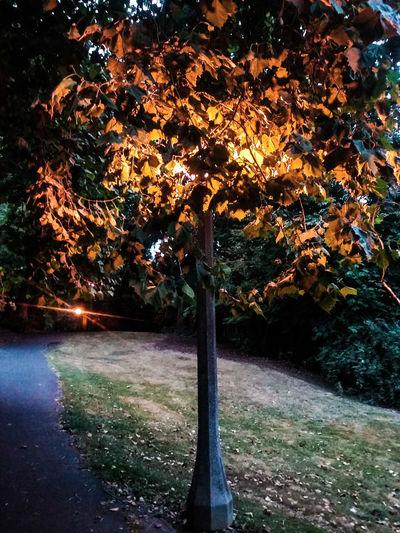 Tree Of Life Streetlight. Tree Leaves Lighting And Shadows PNW PortlandOregon Portlandia Brooklynhood Amedica