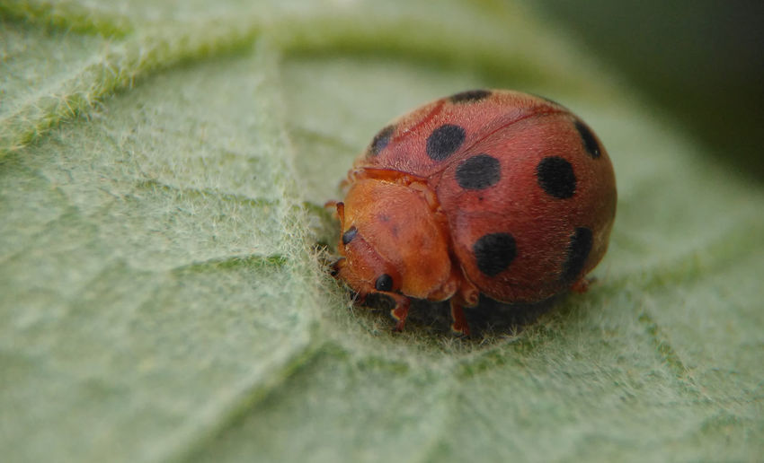 The Old Ladybug Animals In The Wild Ladybug Ladybug🐞 Nature Animal Themes Animal Wildlife Animals In The Wild Close-up Day Insect Insect Photography Ladybug Leaf Nature No People Old Ladybug One Animal Outdoors Small Insect Wildlife