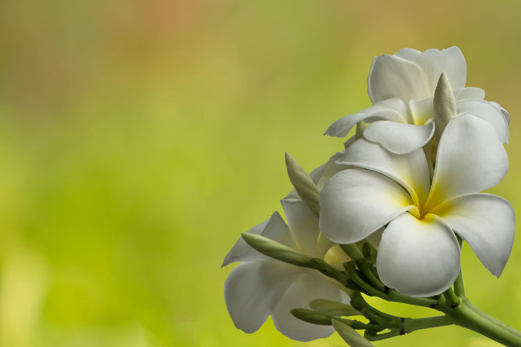 Plumeria flowers on green background. Beautiful Green Plumeria Tree Beauty In Nature Close-up Day Flower Flower Head Flowering Plant Focus On Foreground Fragility Freshness Growth Inflorescence Nature Outdoors Petal Plant Relax Spa Vulnerability  Yellow
