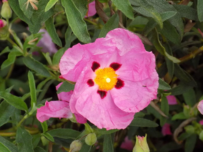 Crinkly soft petals Beauty In Nature Blooming Blossom Botany Close-up Delicate Flower Flower Head Focus On Foreground Fragility Green Color Growth Leaf Nature Orange Petal Pink Pink Rock Rose Plant Pollen Purple Rock Rose Roses Softness Yellow