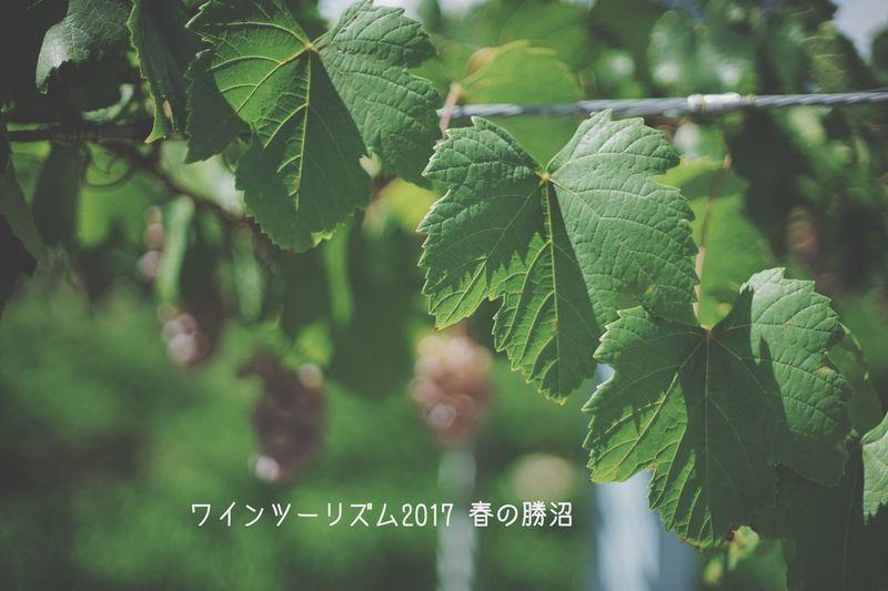 ワインツーリズム2017 春の勝沼 http://www.yamanashiwine.com/ Leaf Green Color Growth Plant Nature Close-up Day 日本 Japan Lifestyles Beauty In Nature Nature 勝沼 ワイン ワインツーリズム 山梨
