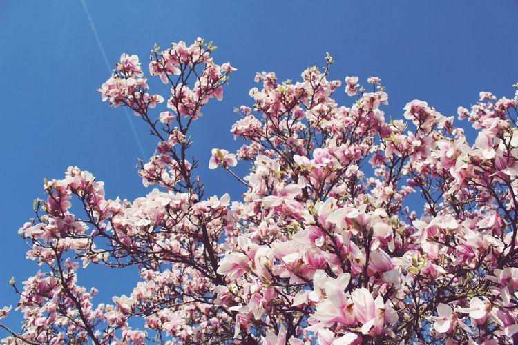 Magnolia Spring Flowers Flowers