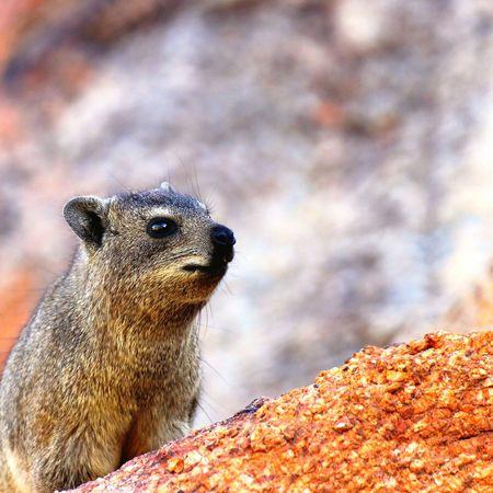 Curious little creature Namibia Africa Nature Photography EyeEm Selects Animal Wildlife Wildlife & Nature Desert Dassie Mammal Furry Rock Procavia Capensis Klippschliefer Nagetier