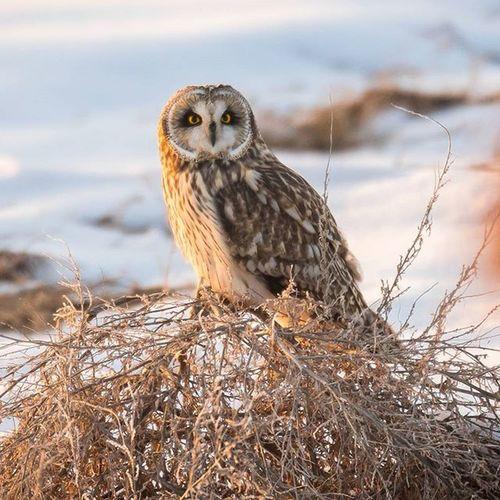 A Short Eared Owl perched under a golden sunset Wild Nature Shortearedowl Owl Igowls Igbirds Photography Nofilter Utah Birdsofutah