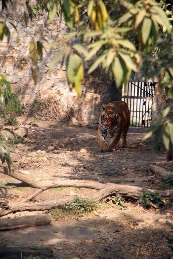 Bengal Tiger Walking At Zoo