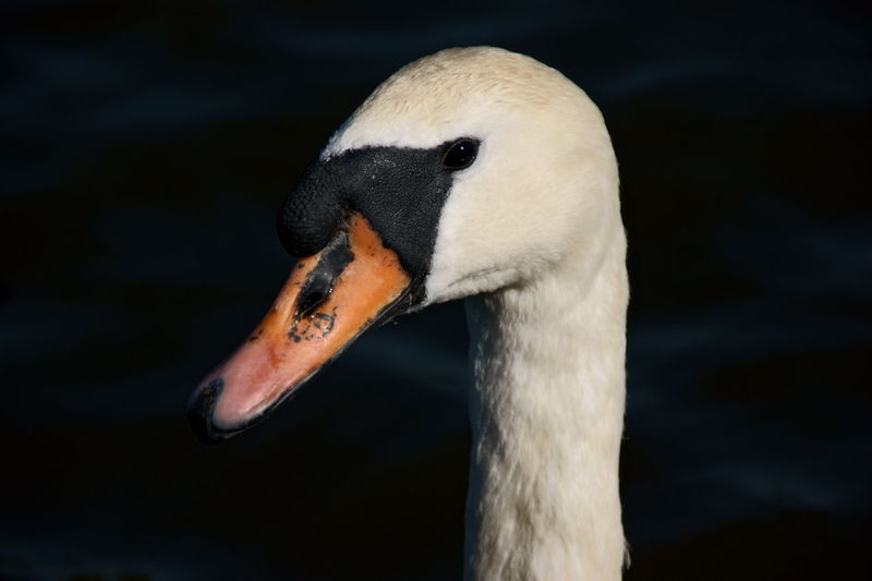 Portrait of a swan, close-up