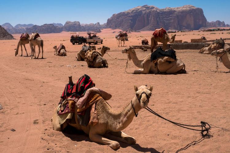 Camels relaxing at desert