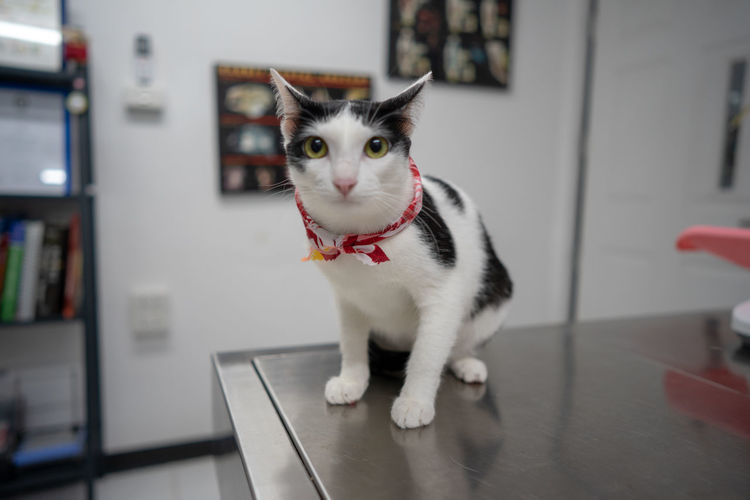 Veterinarian Animal Animal Themes Cat Collar Domestic Domestic Animals Domestic Cat Feline Flooring Focus On Foreground Home Interior Indoors  Looking At Camera Mammal No People One Animal Pet Collar Pets Portrait Vertebrate Veterinary Whisker