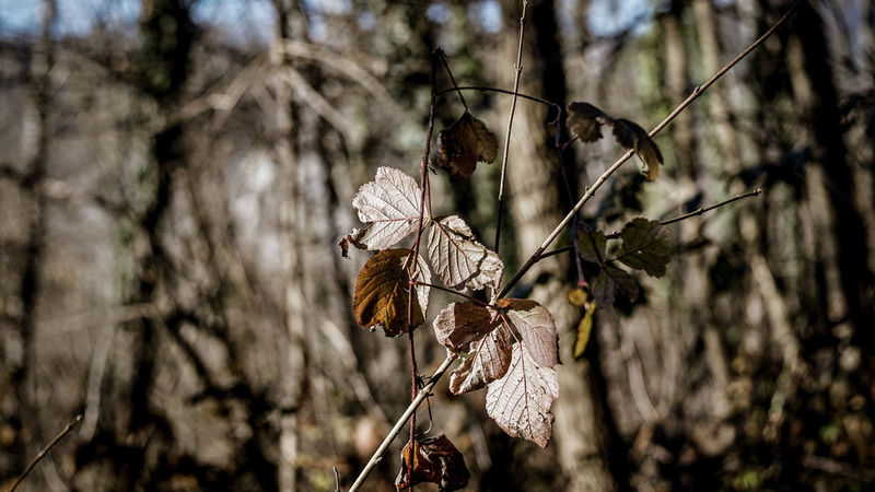 Autumnsky Beauty In Nature Branch Close Up Leaves Close-up Day Dof Forest Growth Leaves Nature Nature Nature_collection No People Outdoors Tree Wilted Plant