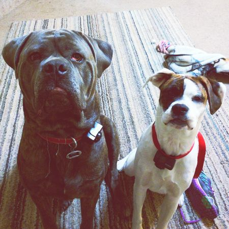 Our pups! KANE AND Piper. Canecorso  ItalianMastiff Ilovemydogs Ilovemycorso Boxer BoxerMix Piper Puppy Love Loveyourpets 4yearold #9monthsold