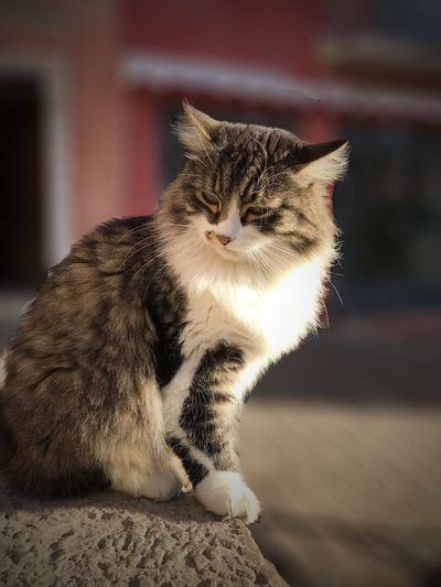 Coffee Shop Kitty Domestic Cat Domestic Animals One Animal Animal Themes Pets Mammal Feline Looking At Camera No People Portrait Whisker Day Outdoors Focus On Foreground Domestic Long Haired Cat Getty X EyeEm Premium Collection