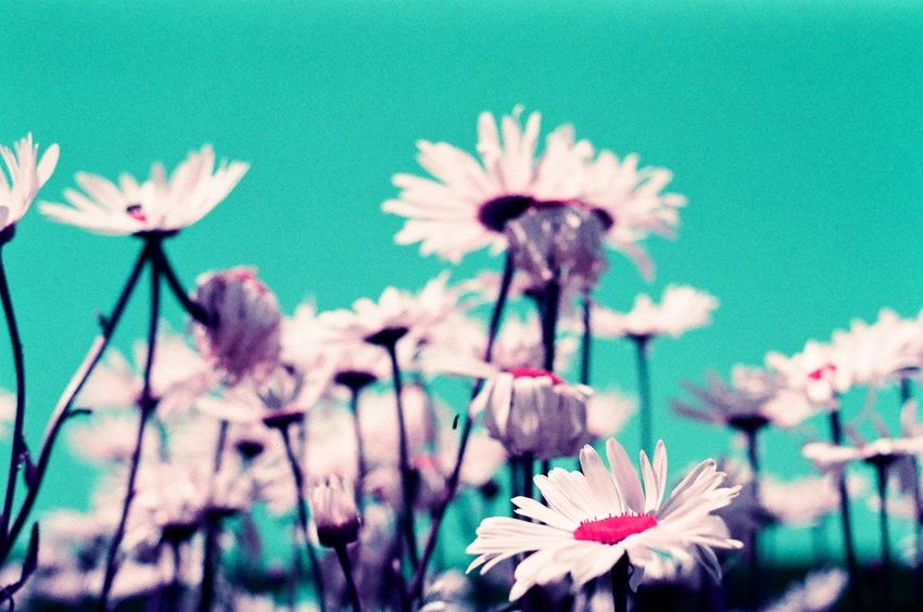 Summer of Love. Chromatic flowers. Daisies on film. 35mm photography. Psychedelic Daisies Daisy Chromatic Film Photography Film Summer Of Love Summer Flower Fragility Flower Head Petal Nature Freshness Beauty In Nature No People Selective Focus Growth Plant Blooming Close-up Day Outdoors Sky EyeEm Ready